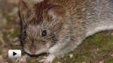 Watch video: The problem of rodents and ultrasound